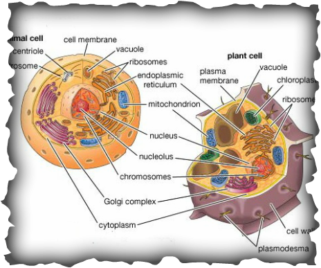 plant and animal cells essay Free plant cells papers, essays plant and animal essay questions 1 in general, respiration refers to the process by which organisms undergo gas exchange.